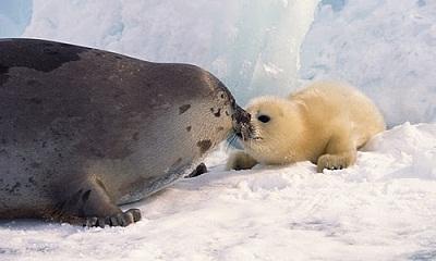 Harp-seal-+-pup1